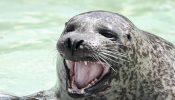 Zeehond met tanden